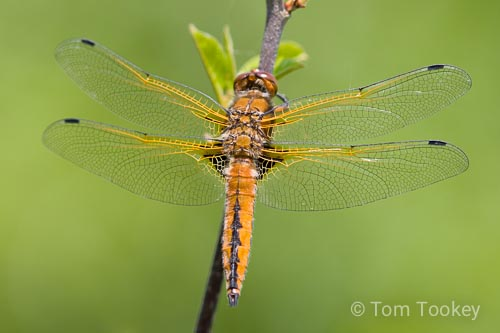 dragonfly_chaser