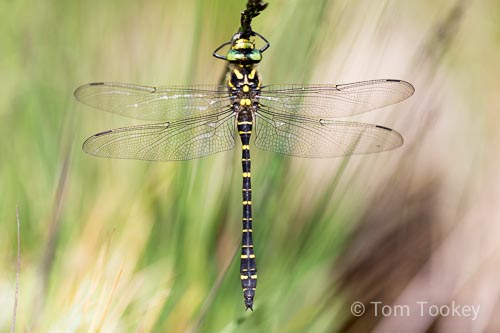 dragonfly_golden-ringed